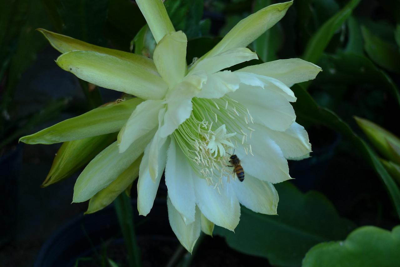 20111124_0747_5625 epiphyllum
