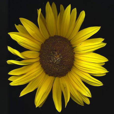 2011 sunflowers