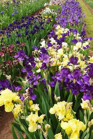 Superstition Iris Garden