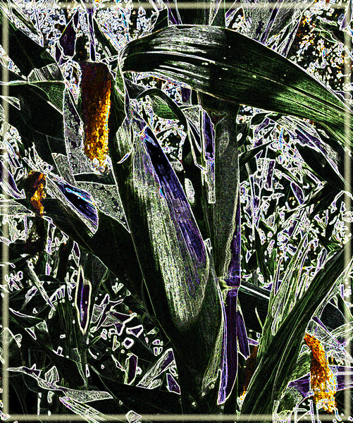 October 23, 2011 - Corn plant at a pumpkin patch, Phoenix, OR (altered in photoshop)