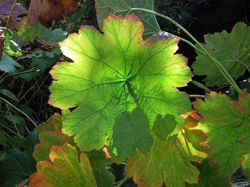 October 26, 2011 - Umbrella Plant at Deer Creek Center, Selma, Oregon