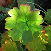 October 26, 2011 - Umbrella Plant at Deer Creek Center, Selma, Oregon