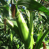 October 23, 2011 - Corn plant at a pumpkin patch, Phoenix, Oregon