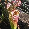 October 23, 2011 - Pitcher plant at the Garden Train, Central Point, Oregon