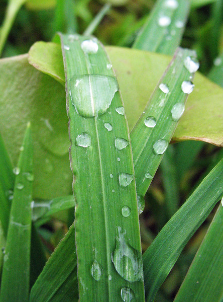 January 30, 2011 - Grass with water drop at Touvalle Park outside of Medford, OR.