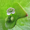 January 30, 2011 -Miner's lettuce at Touvalle Park outside of Medford, OR.