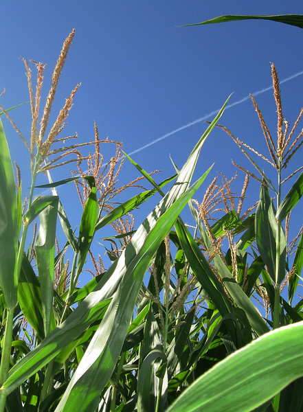 October 23, 2011 - Corn plants at a pumpkin patch, Phoenix, Oregon