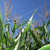 October 23, 2011 - Corn plants at a pumpkin patch, Phoenix, Oregon