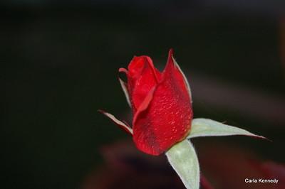 2012 01-18 Red Rose