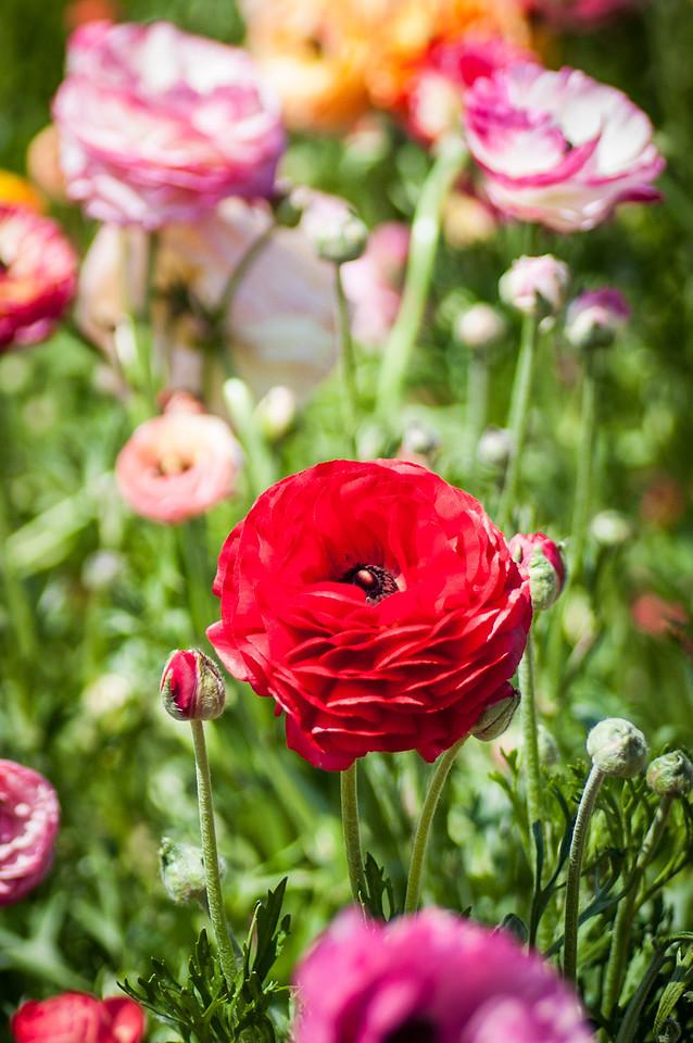 2012-03-27 Carlsbad Flower Fields-8183