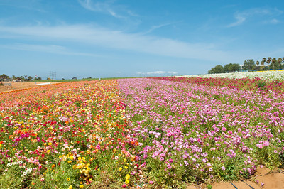 2012-03-27 Carlsbad Flower Fields-8135