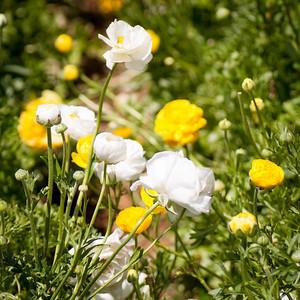 2012-03-27 Carlsbad Flower Fields-8167