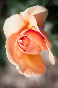 2012-03-27 Carlsbad Flower Fields-8237