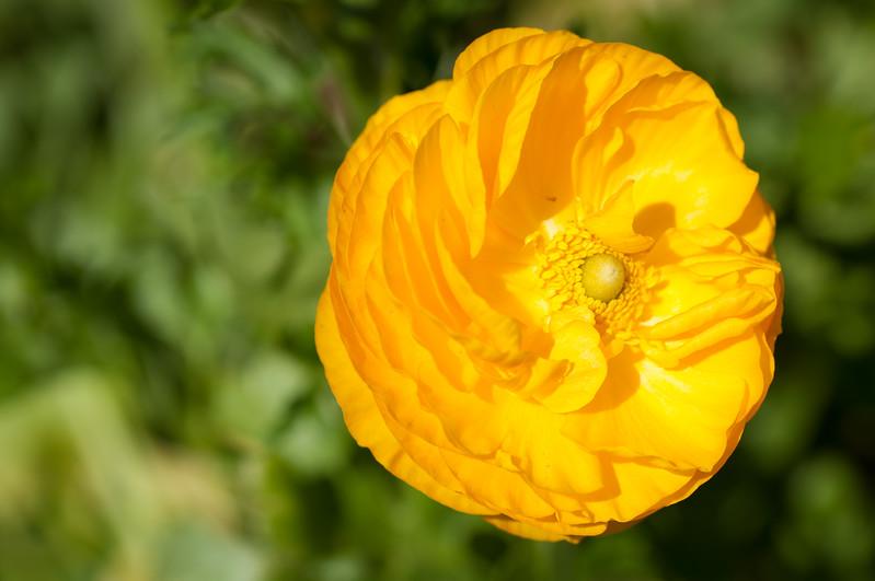 2012-03-27 Carlsbad Flower Fields-8161