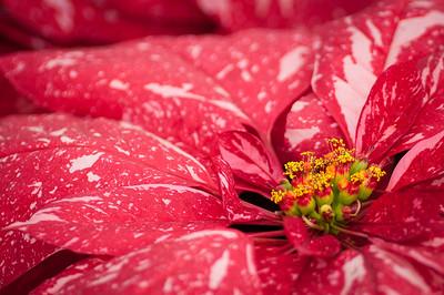 2012-03-27 Carlsbad Flower Fields-8224