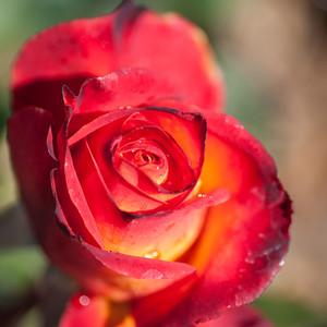 2012-03-27 Carlsbad Flower Fields-8234