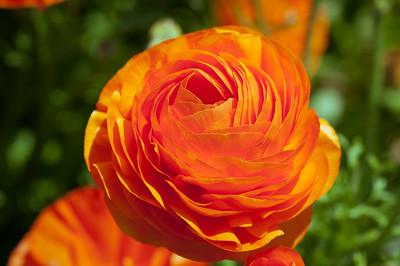 2012-03-27 Carlsbad Flower Fields-8149