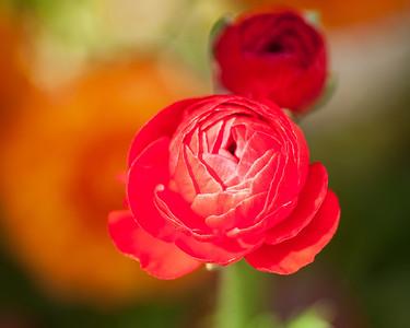 2012-03-27 Carlsbad Flower Fields-8272