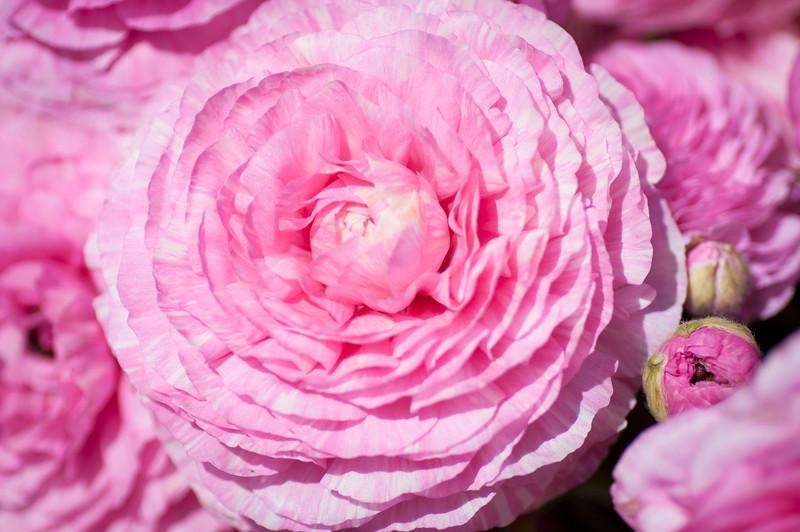2012-03-27 Carlsbad Flower Fields-8261