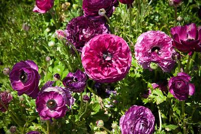 2012-03-27 Carlsbad Flower Fields-8145