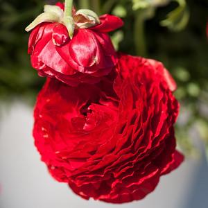 2012-03-27 Carlsbad Flower Fields-8262
