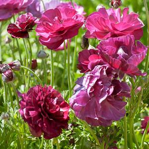 2012-03-27 Carlsbad Flower Fields-8146