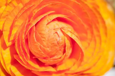 2012-03-27 Carlsbad Flower Fields-8260