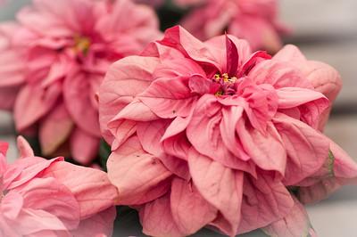 2012-03-27 Carlsbad Flower Fields-8214