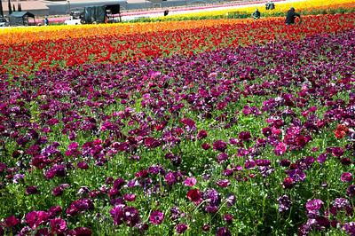 2012-03-27 Carlsbad Flower Fields-8143