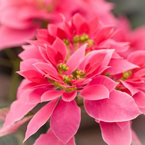 2012-03-27 Carlsbad Flower Fields-8218