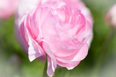 2012-03-27 Carlsbad Flower Fields-8169