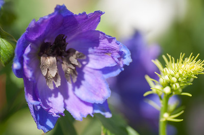 2012-03-27 Carlsbad Flower Fields-8264