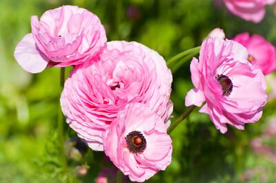 2012-03-27 Carlsbad Flower Fields-8173