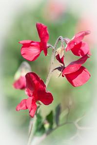 2012-03-27 Carlsbad Flower Fields-8202