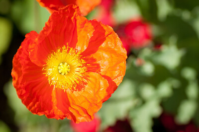 2012-03-27 Carlsbad Flower Fields-8268