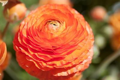 2012-03-27 Carlsbad Flower Fields-8258