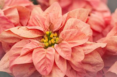2012-03-27 Carlsbad Flower Fields-8226