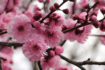 20120809_1019_2125 plum blossom