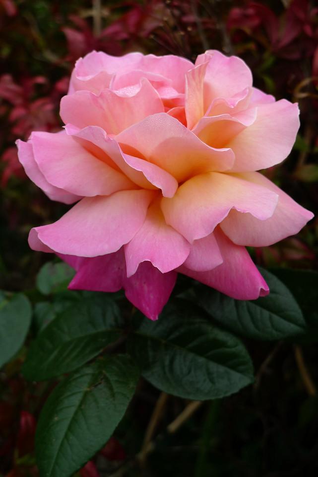 20120416_0855_6398 rose