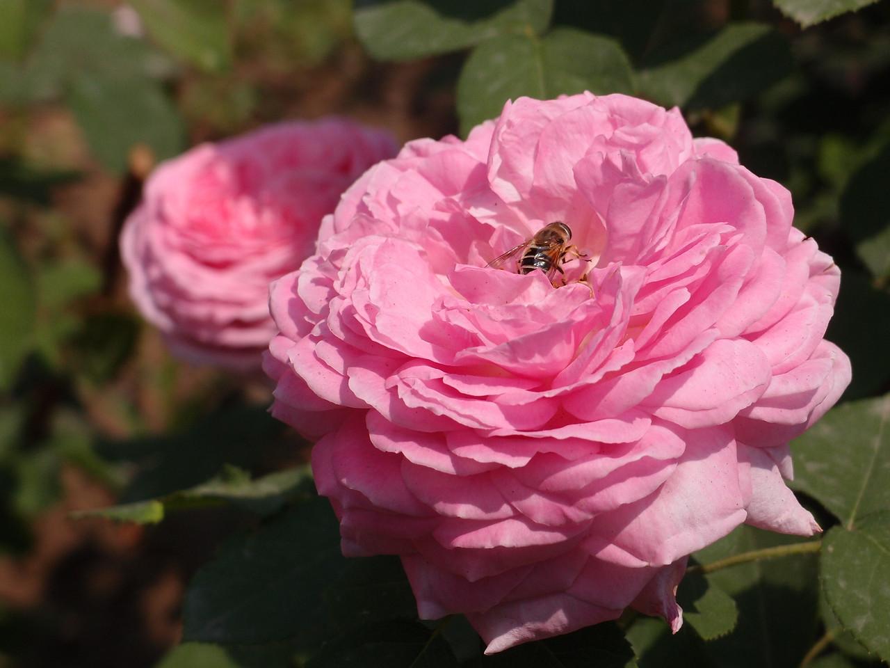 20120515_1124_0486 roses