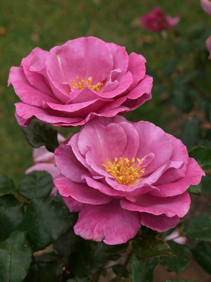 20120419_1140_0061 rose