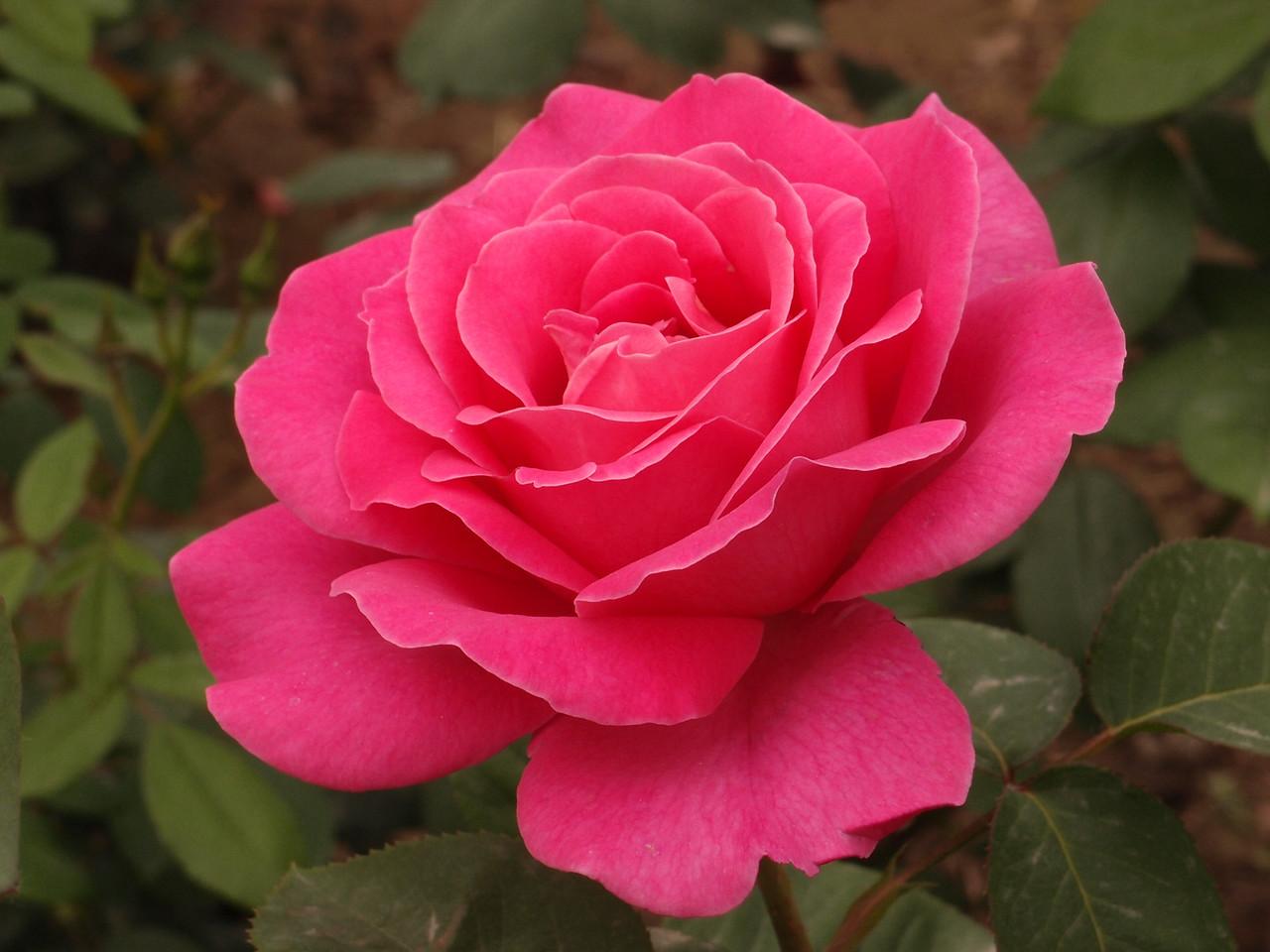 20120513_1324_0336 rose