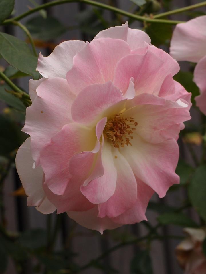 20120429_1132_0238 rose