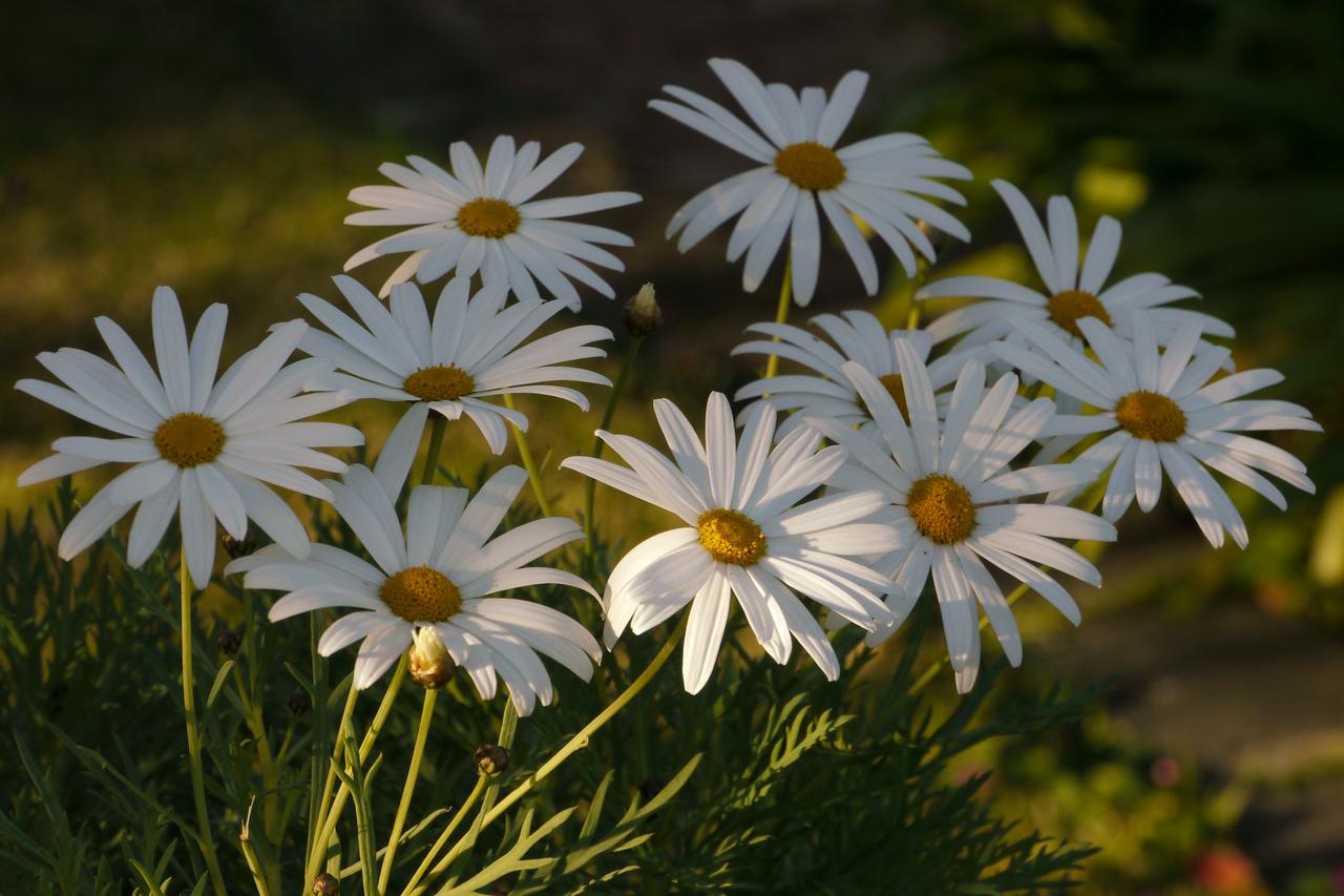 20120807_0840_2053 daisies