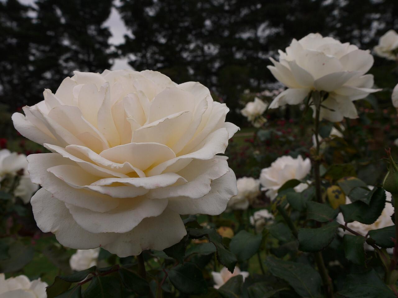 20120419_1055_0050 rose