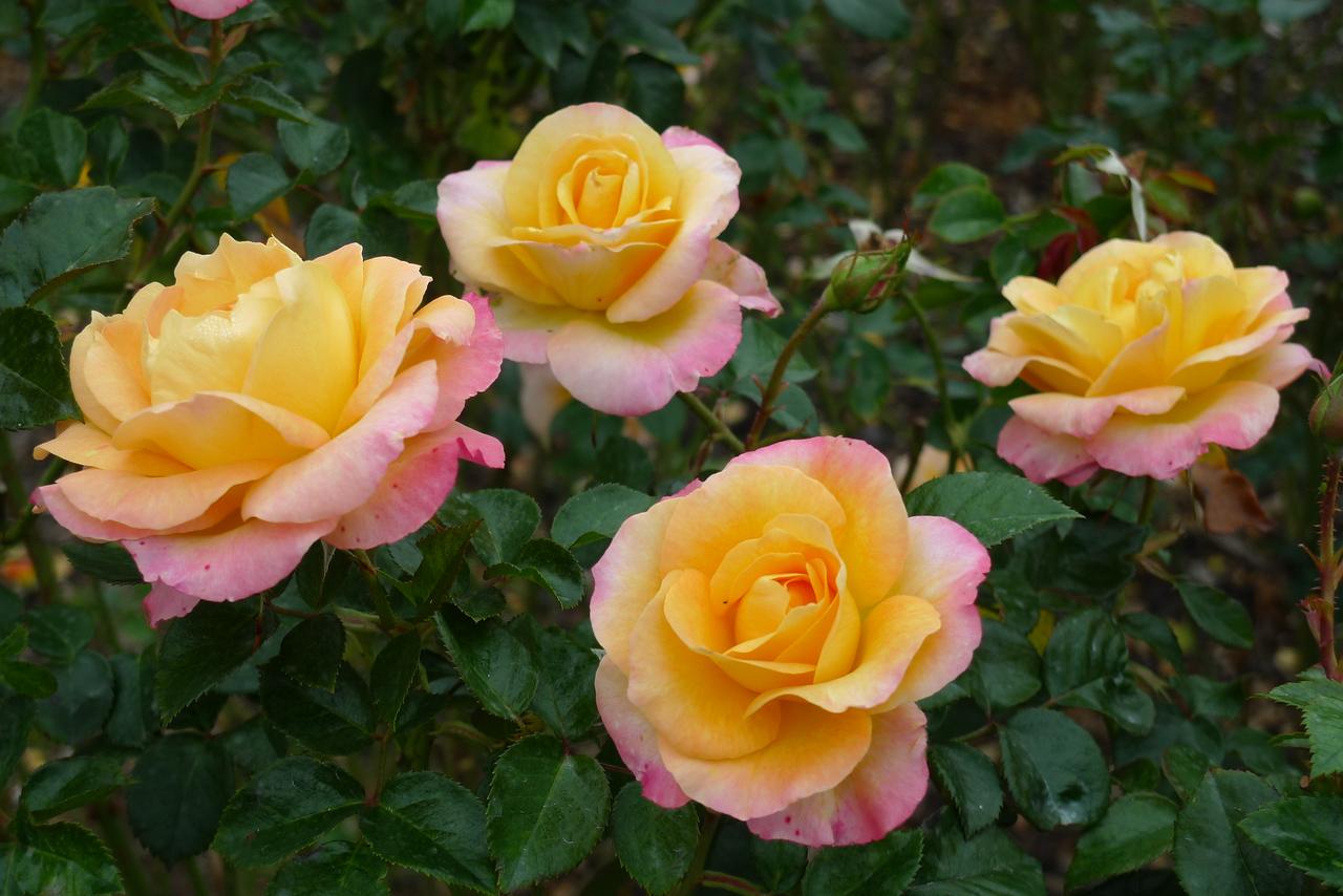 20120419_1138_6548 rose