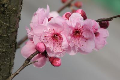 20120806_1602_2014 plum blossom