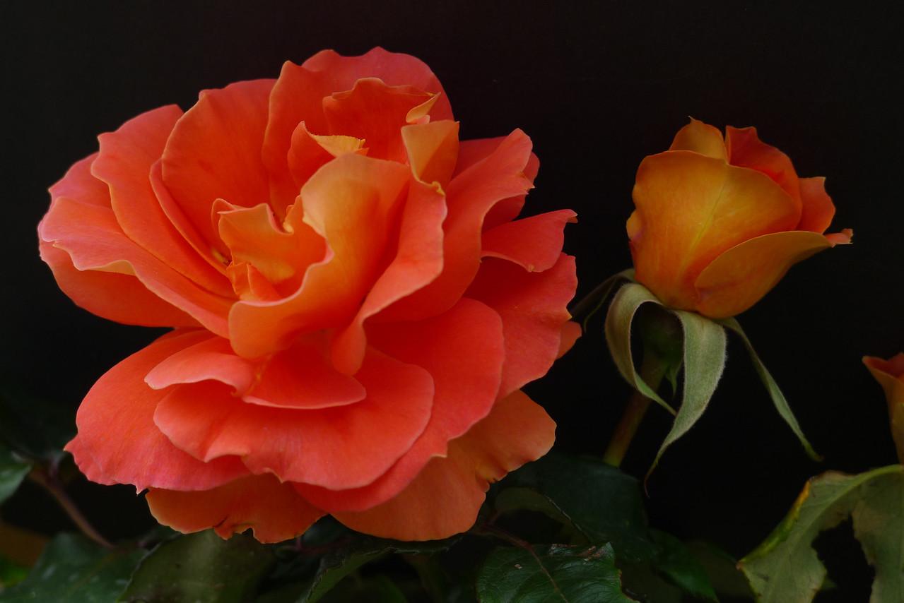 20120419_1156_6560 rose
