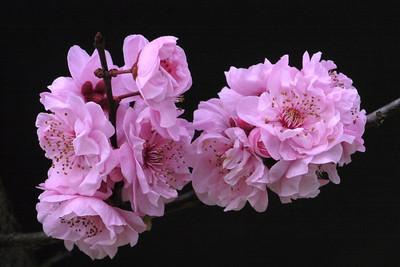 20120813_0846_2369 plum blossoms