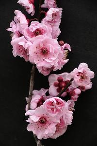 20120810_1624_2270 plum blossoms